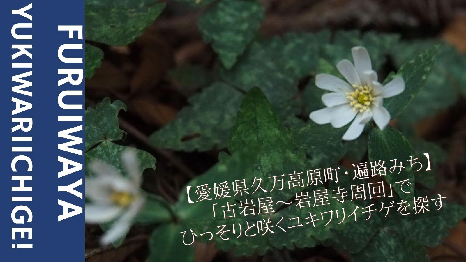 【愛媛県久万高原町・遍路みち】「古岩屋〜岩屋寺周回」でひっそりと咲くユキワリイチゲを探す